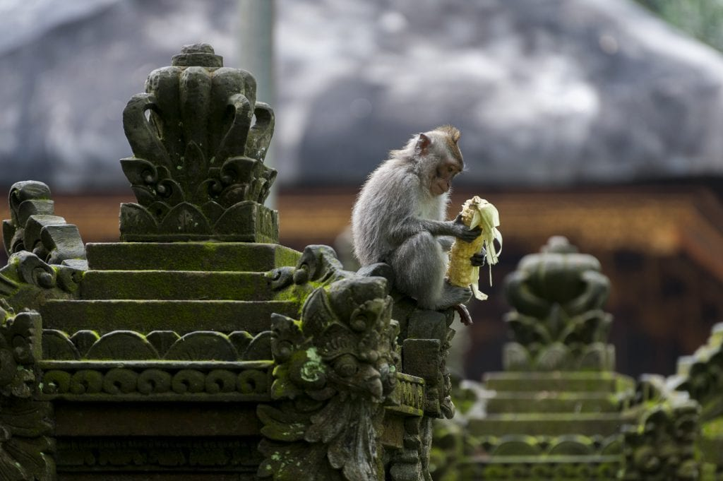 Long-tailed macaque eating fruit in the Ubud Monkey Forest.