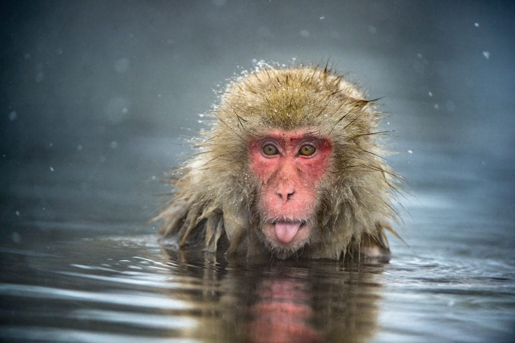 A Japanese macaque at Jigokudani Monkey Park, Nagano Prefecture