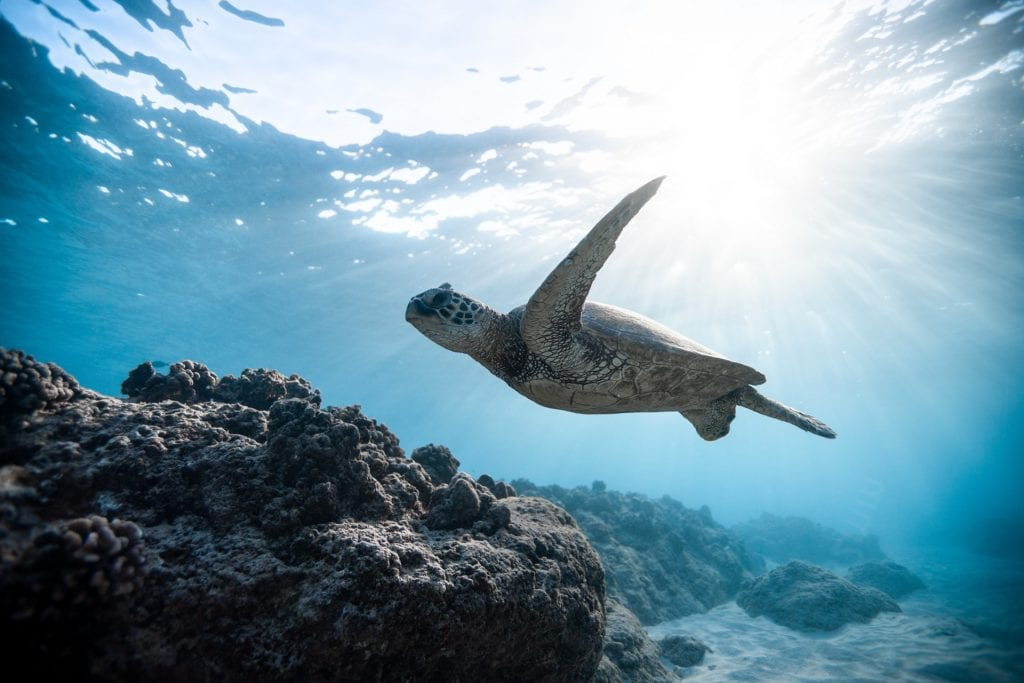 Turtle swimming in the Great Barrier Reef