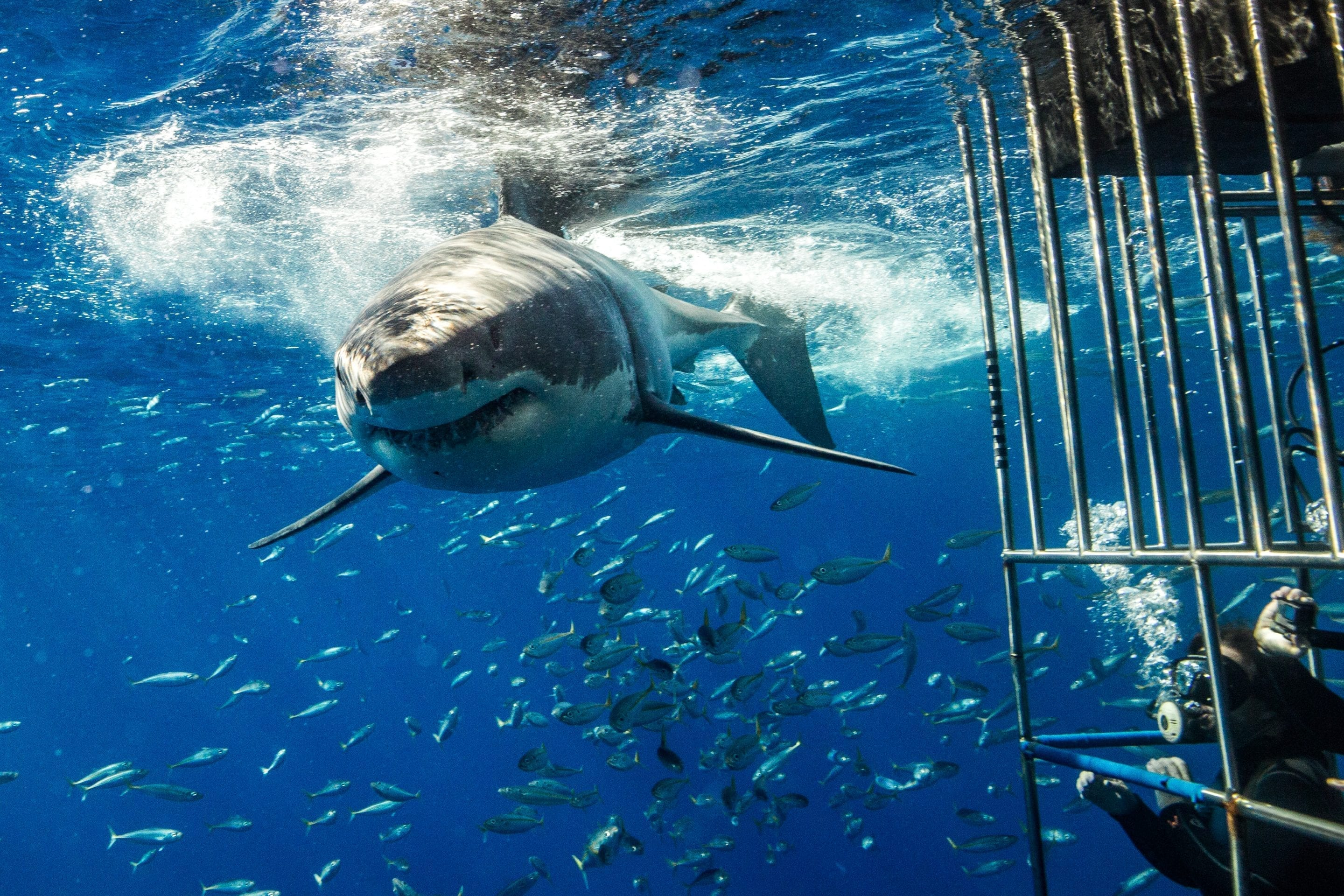 Great white shark swimming near a shark cage