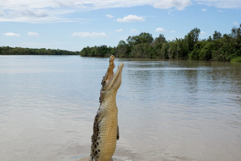 Crocodile jumping in the Adelaide River, Kakadu National Park